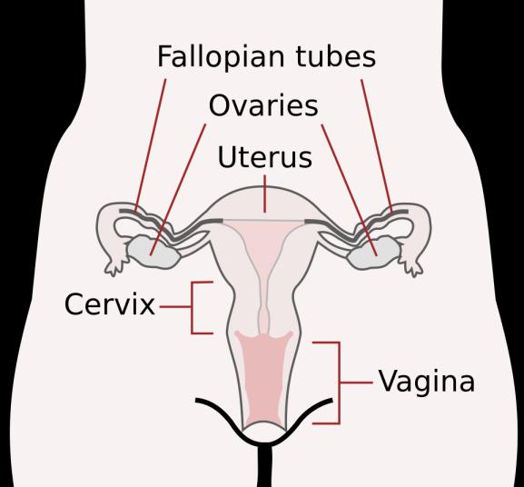 Scheme_female_reproductive_system-en