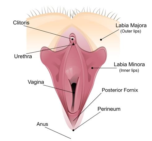 female genitals