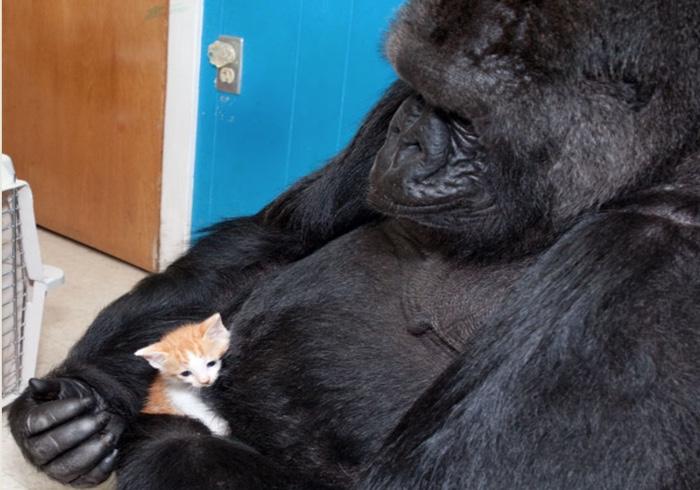 koko gorilla and kitten